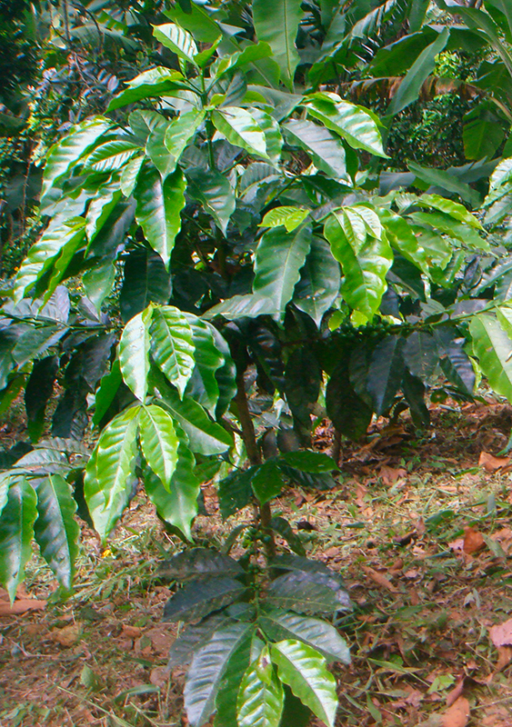 Partes de la planta de café