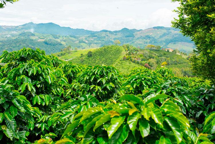 Planta de café - el cafeto - mata de café