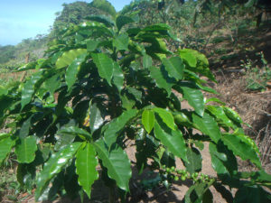 cafeto, planta de cafe