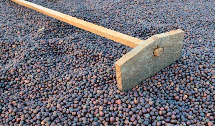 Proceso del beneficio en seco del café