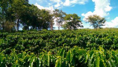 Producción de café a plena exposición solar