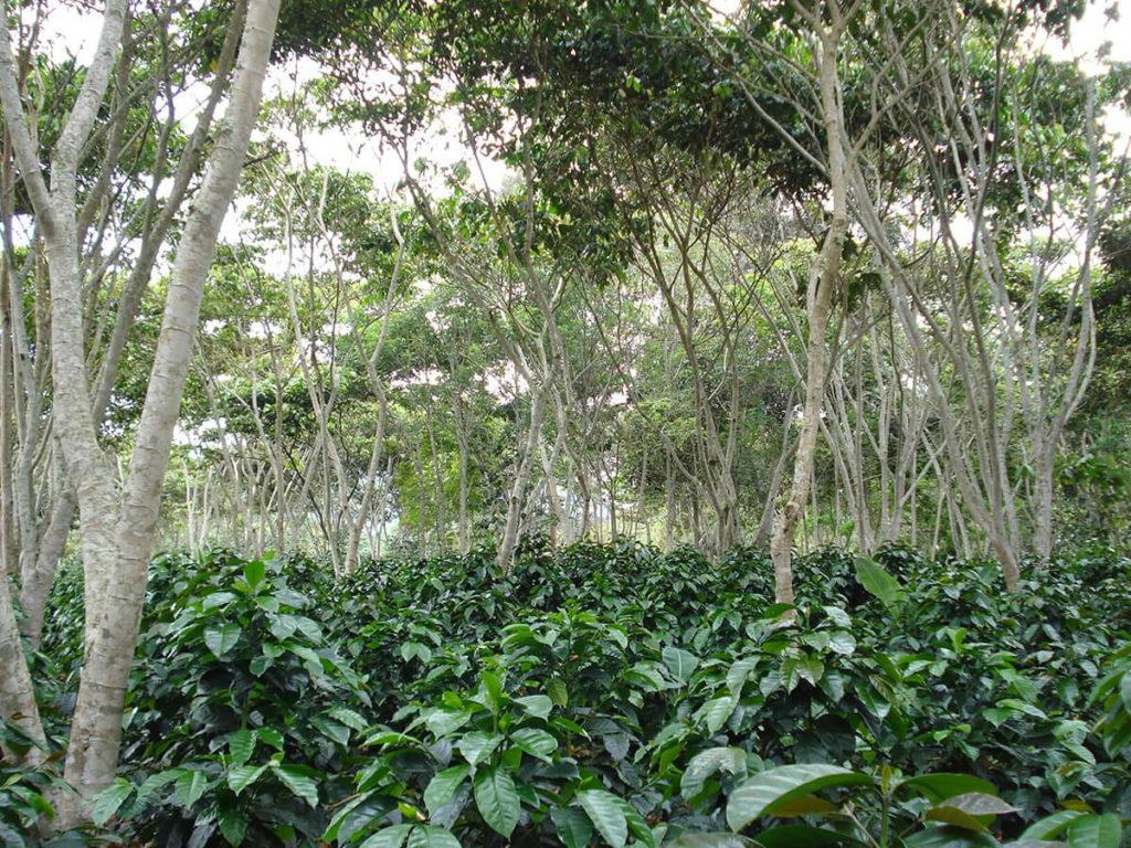 Árboles que dan sombra al café