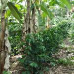 sistema de produccion agroforestal