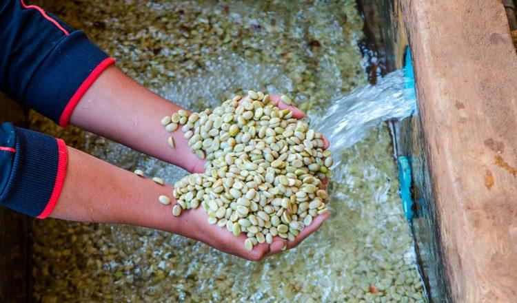Proceso beneficiado húmedo del café