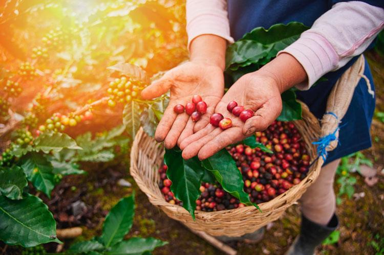 Recolección de los frutos del café - Café en cereza - Café maduro