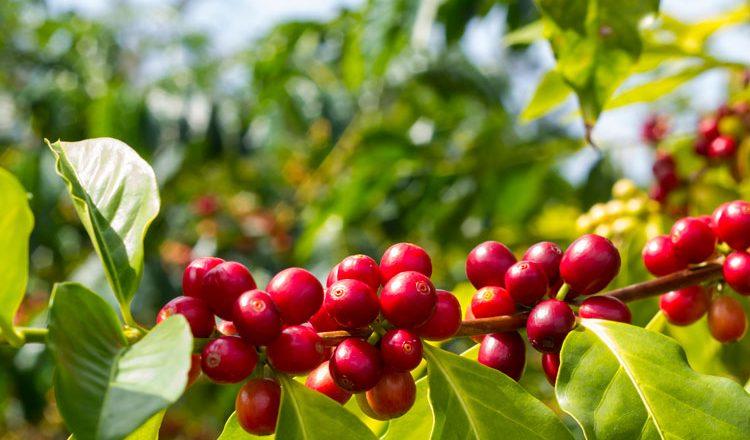Planta de café con frutos